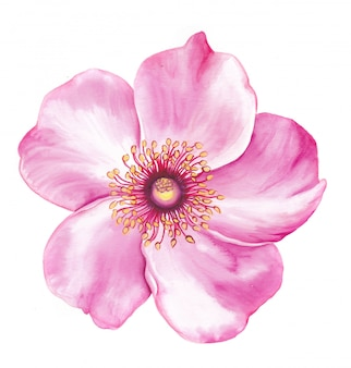 Flower of sakura tree watercolor illustration.