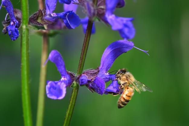 Цветок шалфея луговой с пчелой в поисках нектара