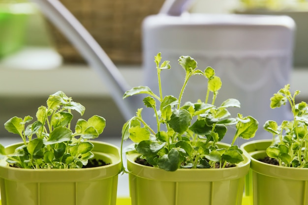Flower seedlings in green plastic pots