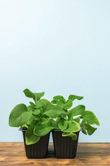 나무 테이블에 플라스틱 용기에 꽃 모종. 집에서 식물 재배.