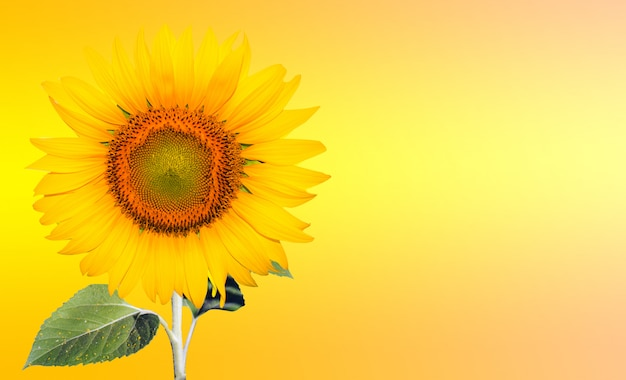 Flower of sunflower isolated on yellow background