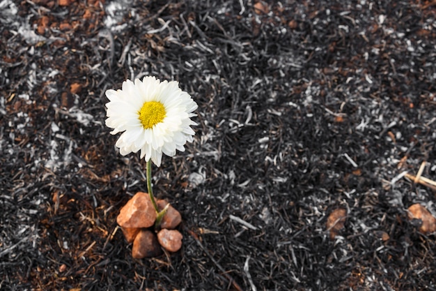 Flower survive on ash of burnt grass