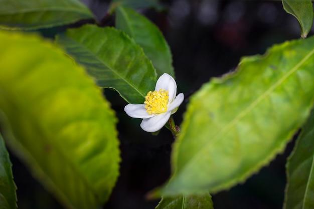 Flower of tea plant camellia sinensis white flower on a branch, chinese tea bush blooming, spring, close-up, macro, horizontal shot