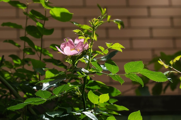 Цветок шиповника растет весной