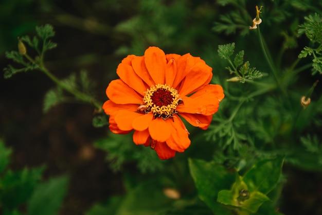 ぼやけた緑の自然の葉カレンデュラ(カレンデュラ・オフィシナリス、ポット、庭またはイングリッシュマリーゴールド)と花します。晴れた夏の日のカレンデュラ。薬用カレンデュラハーブのクローズアップ。