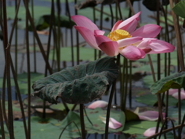물에 분홍색 꽃잎을 가진 꽃