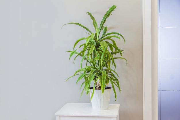 회색 벽 스칸디나비아 스타일 룸 인테리어 복사 공간에 받침대에 흰색 냄비에 꽃 유카