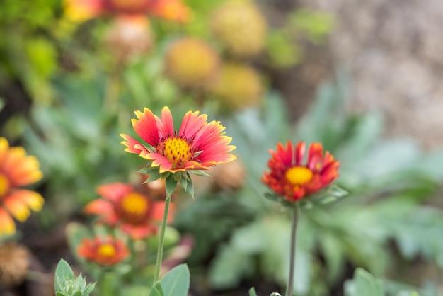 Flower (zinnia, zinnia violacea cav.) yellow, pink, orange and red color