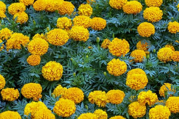 Клумба, поле оранжевых цветов на фоне парка