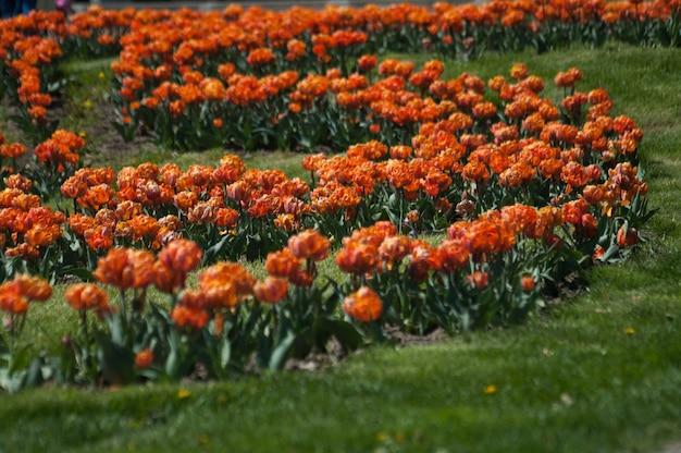 春の美しい色とりどりのチューリップの花壇