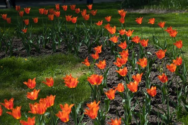 美しい色とりどりのチューリップの花壇
