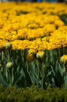 美しい黄色のチューリップの花壇