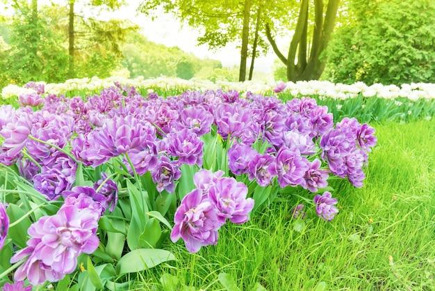 緑の公園で紫色の花のチューリップの花壇