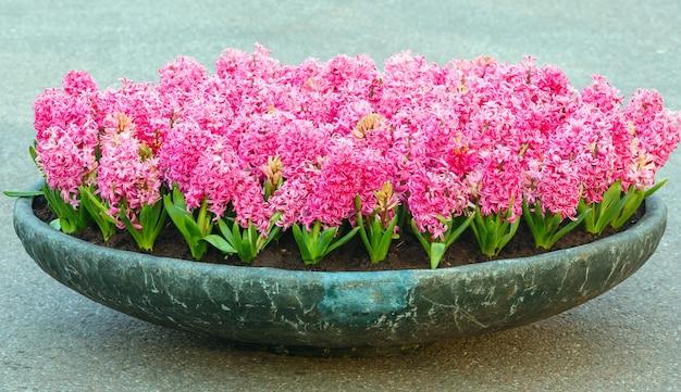 봄의 공원에서 아름다운 핑크 히아신스가있는 화단