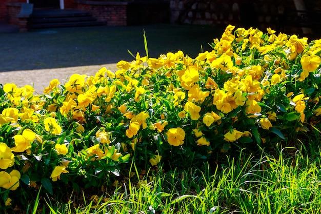 도시 공원에 노란색 비올라 꽃이 있는 화단
