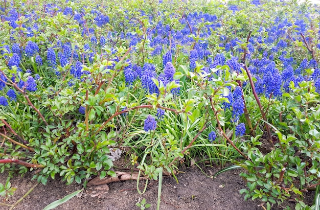 Flowered lupine plant lupin plant bluebonnet plant lupinus