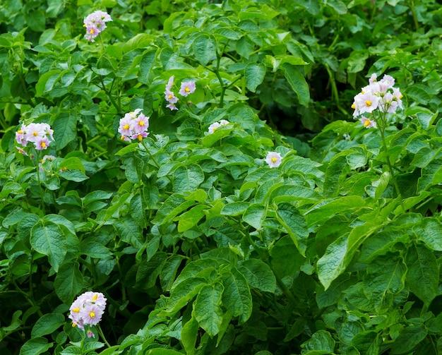 여름에 꽃이 만발한 감자. 농부 필드에 자라는 꽃과 감자 식물. 클로즈업 유기농 야채 꽃이 만발합니다.