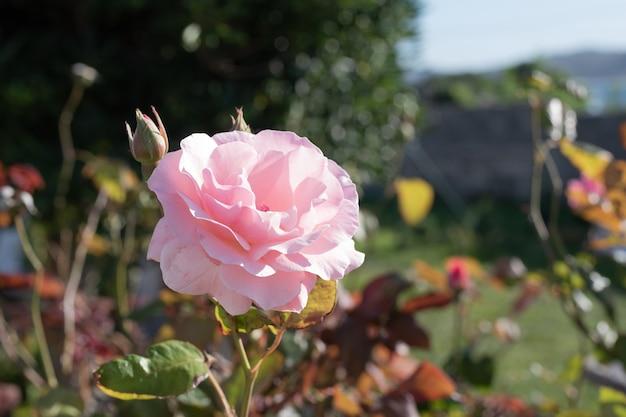 夏の終わりに葉や茂みの庭の背景の上に明るい色の花のバラ
