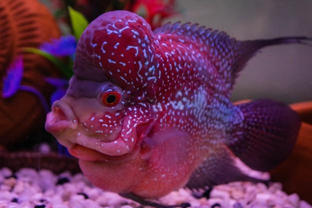 Flowerhorn 물고기 수족관 물고기 꽃 뿔 물고기 flowerhorn시 클 리드 물고기 흰색 배경에 고립이 클리핑 패스가 있습니다.