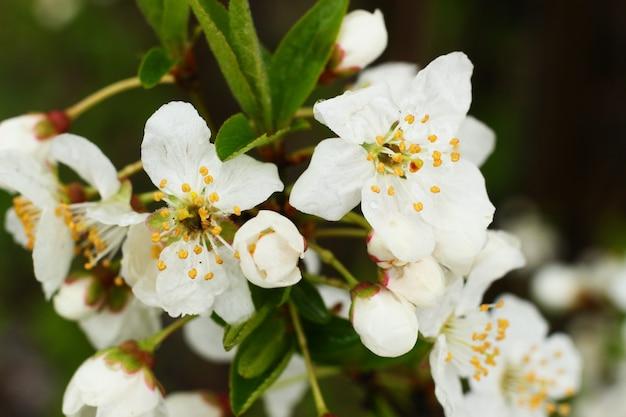 Цветение фруктового дерева крупным планом