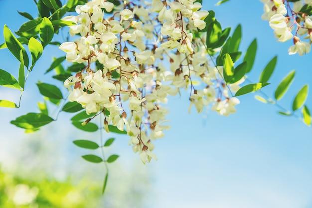 정원에서 꽃 아카시아 나무입니다. 선택적 초점.