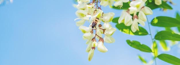 庭の開花アカシアの木。