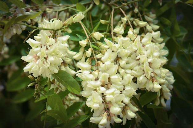 꽃이 만발한 아카시아 나무