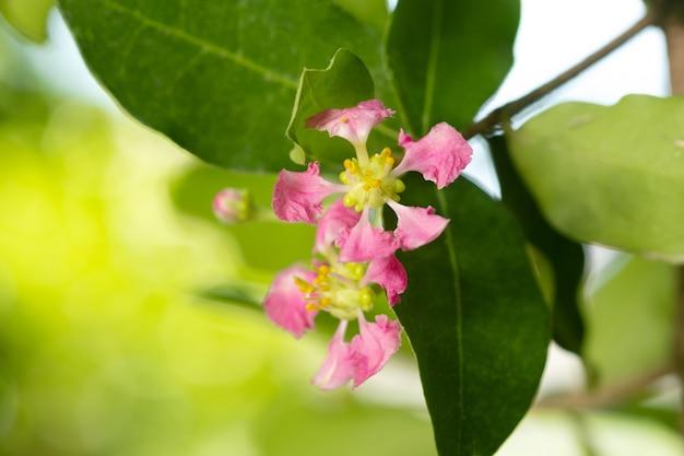 タイの開花アセロラ桜。アセロラ桜、セレクトフォーカス、ソフトフォーカス。