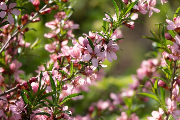 Flowering almond family rosaceae in the apothecary garden summer surface