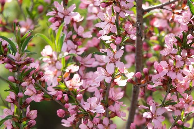 Apothecary 정원 여름 표면에 아몬드 가족 장미과 꽃