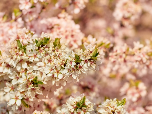 Flowering almond in the park.