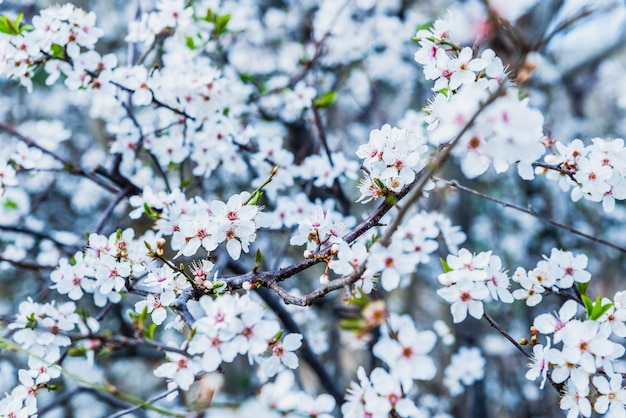 Flowering almond trees during the spring in a mediterranean city
