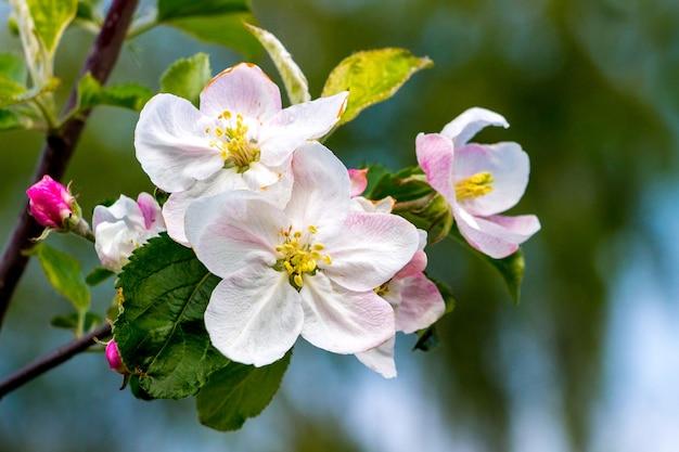 庭の開花リンゴ