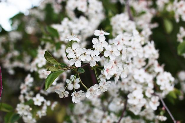 春先に真っ白な花が咲くリンゴの木