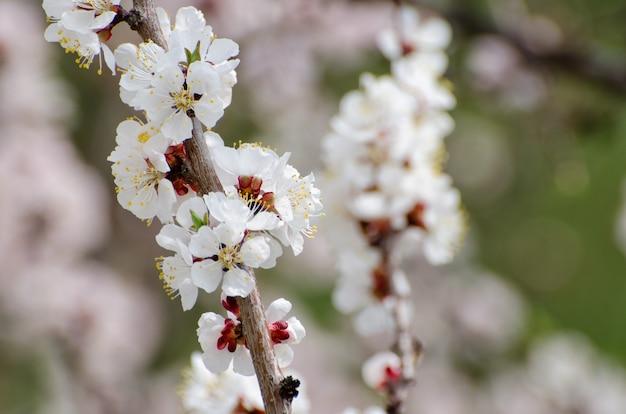 アプリコットの開花、晴れた日、クローズアップ