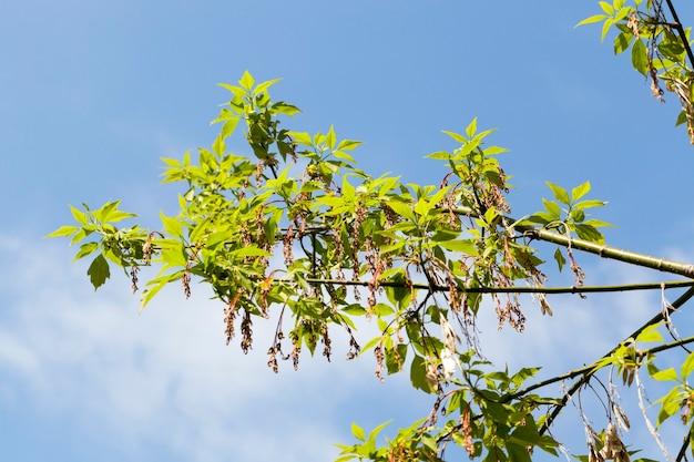 도시 공원에서 봄 시즌에 꽃이 만발한 물푸레 나무, 따뜻한 날씨의 근접 촬영