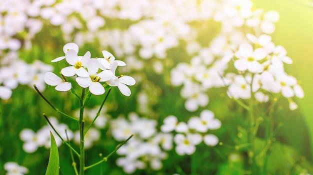 밝은 햇살에 꽃 aubrieta. 장식용 꽃 _