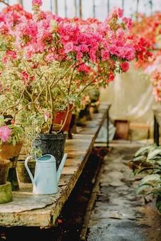 温室でツツジを開花