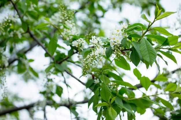 Flowering of bird cherry tree. spring flowers. spring background.