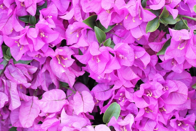 Flowering bougainvillea flower background