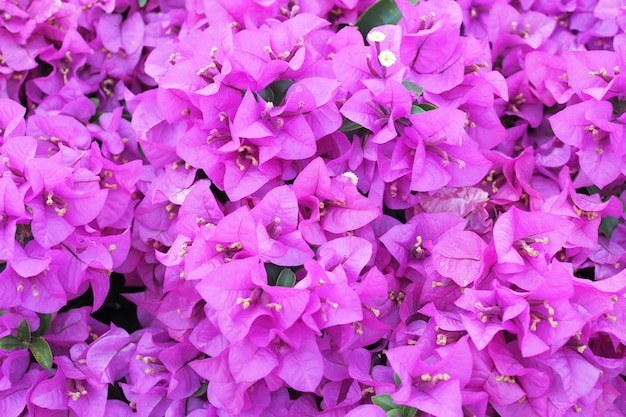 Flowering bougainvillea flower for background
