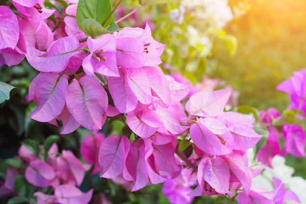 Flowering bougainvillea in flower garden