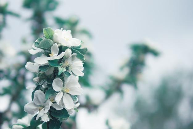 リンゴの木の開花枝
