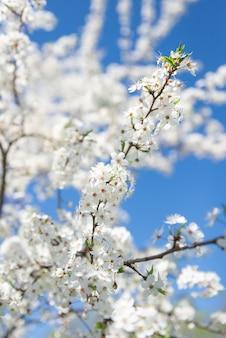 Цветущая ветка плодового дерева. весной цвела вишня. на ветке фруктового дерева распускается много белых цветов.