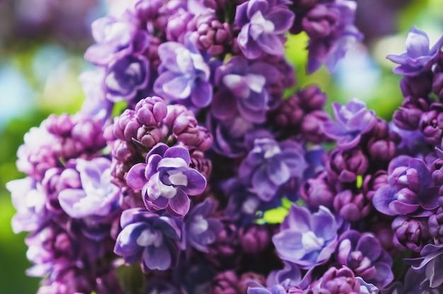 春の庭にライラックの開花枝。