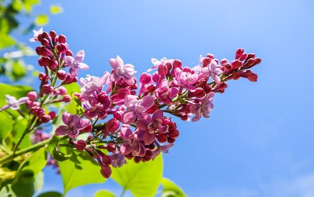 春の庭の青い空を背景にライラックの開花枝