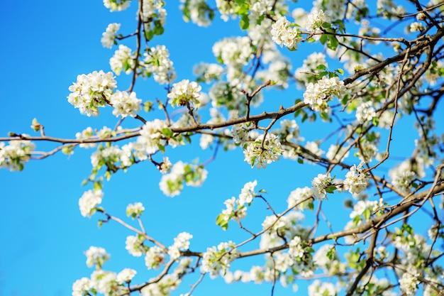 梨咲く春の庭の開花枝