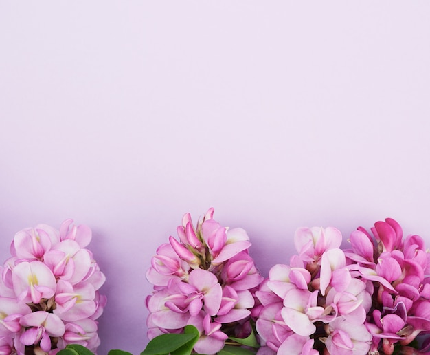 Flowering branch robinia neomexicana with pink flowers on a purple background