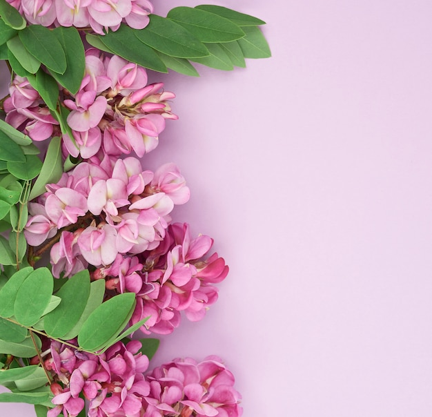 Flowering branch robinia neomexicana with pink flowers on a purple