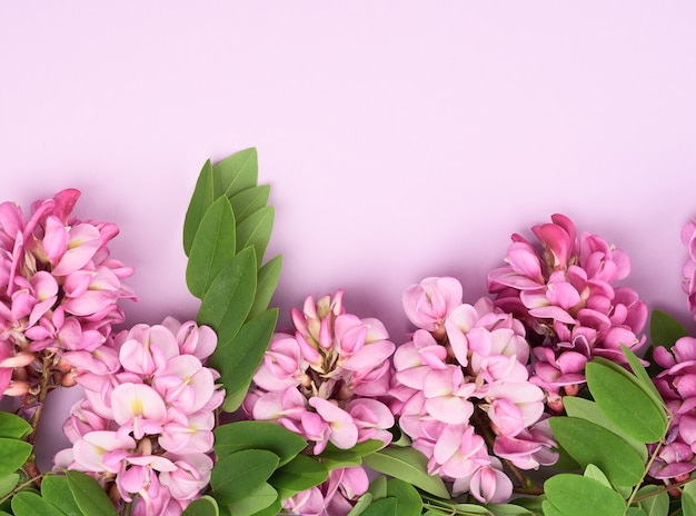 Flowering branch robinia neomexicana with pink flowers